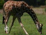 Puzle žirafe