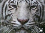 Puzle baltais tīģeris