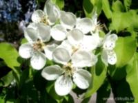 Bumbieres ziedi