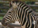Puzle zebra