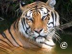 Puzle tigeris
